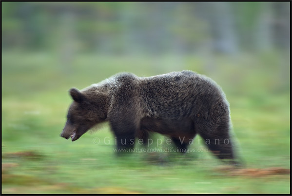 Bear's motions blurs