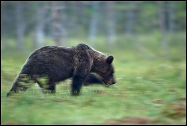 Slow walking Bear