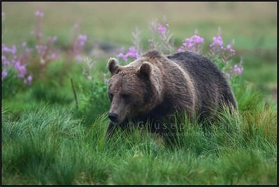Brown Bear ( Ursus arctos )  Finland  Giuseppe Varano - Nature and Wildlife Images - Birds and Nature Photography