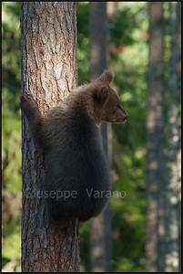 Cub's climbing