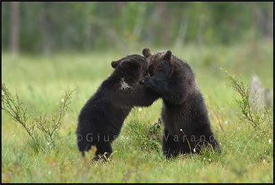 Cubs' fight