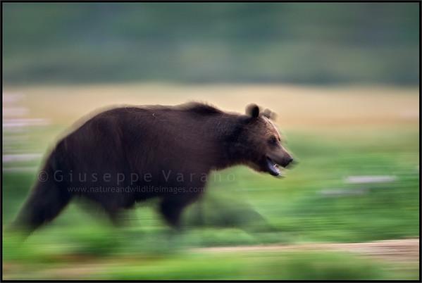 Brown bear's panning