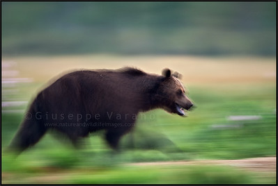 Brown bear's panning