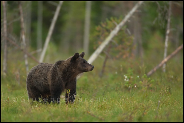 Brown Bear ( Ursus arctos )  Finland  Giuseppe Varano - Nature and Wildlife Images - Birds and Nature Photography