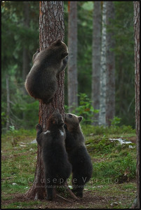 Brown Bears ( Ursus arctos )  Finland  Giuseppe Varano - Nature and Wildlife Images - Birds and Nature Photography