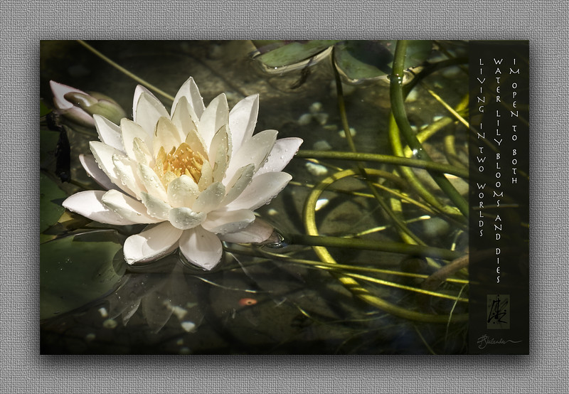 Water Lily with Haiku