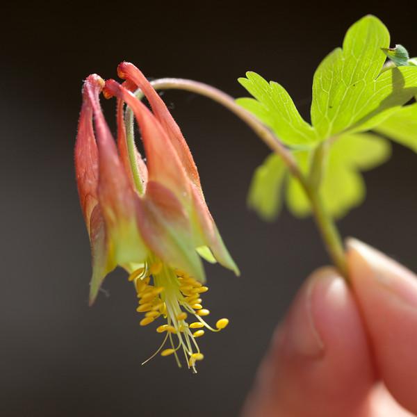 Red Columbine, (Aquilegia canadensis [Ranunculaceae]), Buffalo River, Arkansas