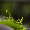 Juvenile Praying Mantis