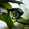 A male Cairns Birdwing Butterfly