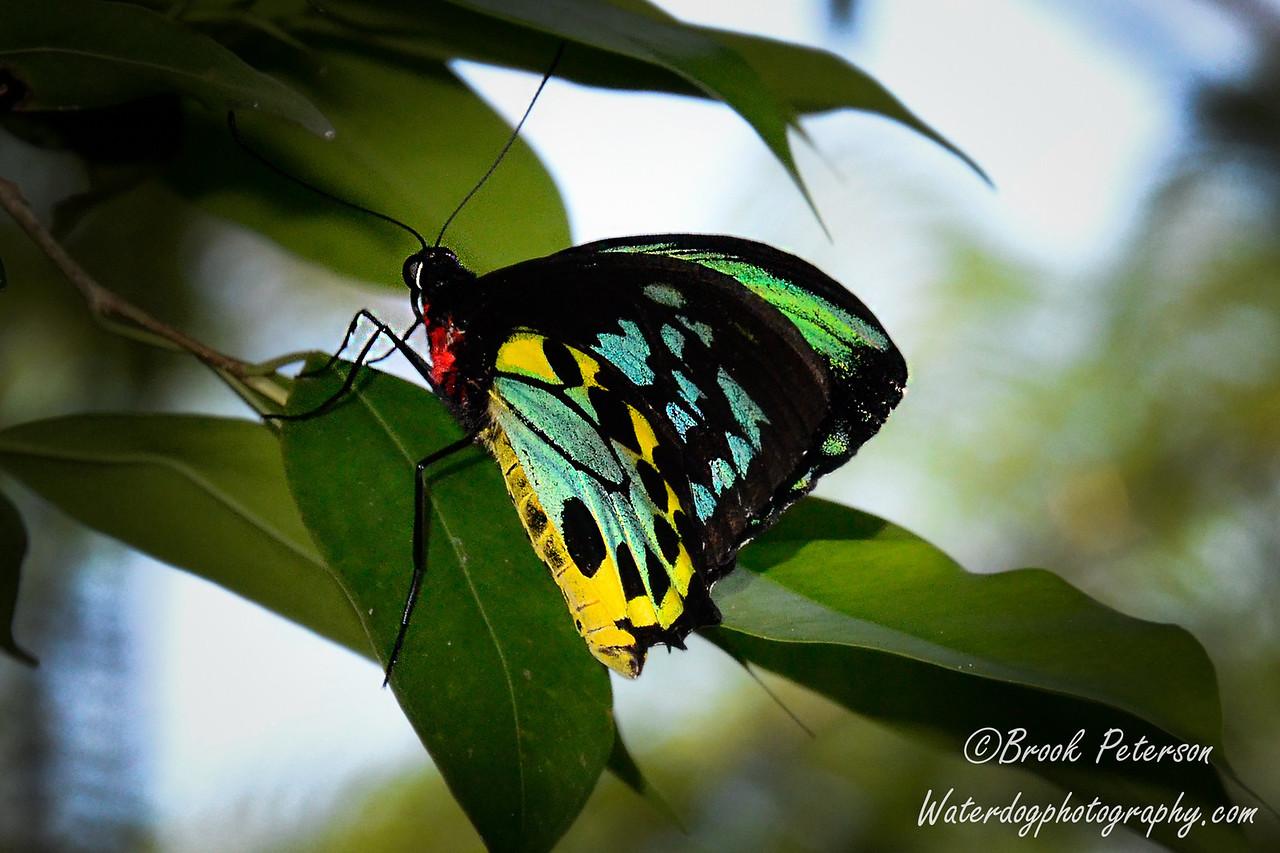 A male Cairns Birdwing Butterfly
