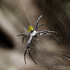 Hawaiian Spider