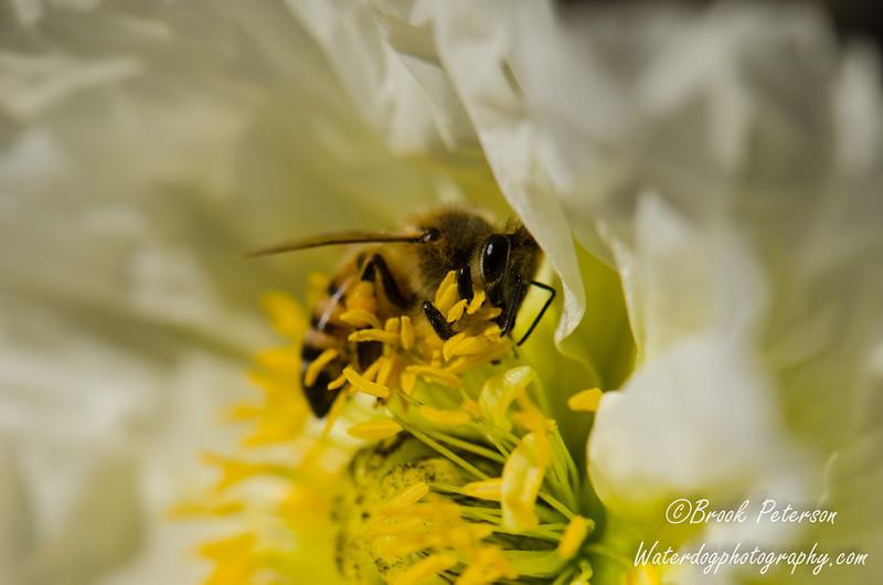 Bumblebee collecting pollen