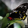 A female Cairns Birdwing butterfly