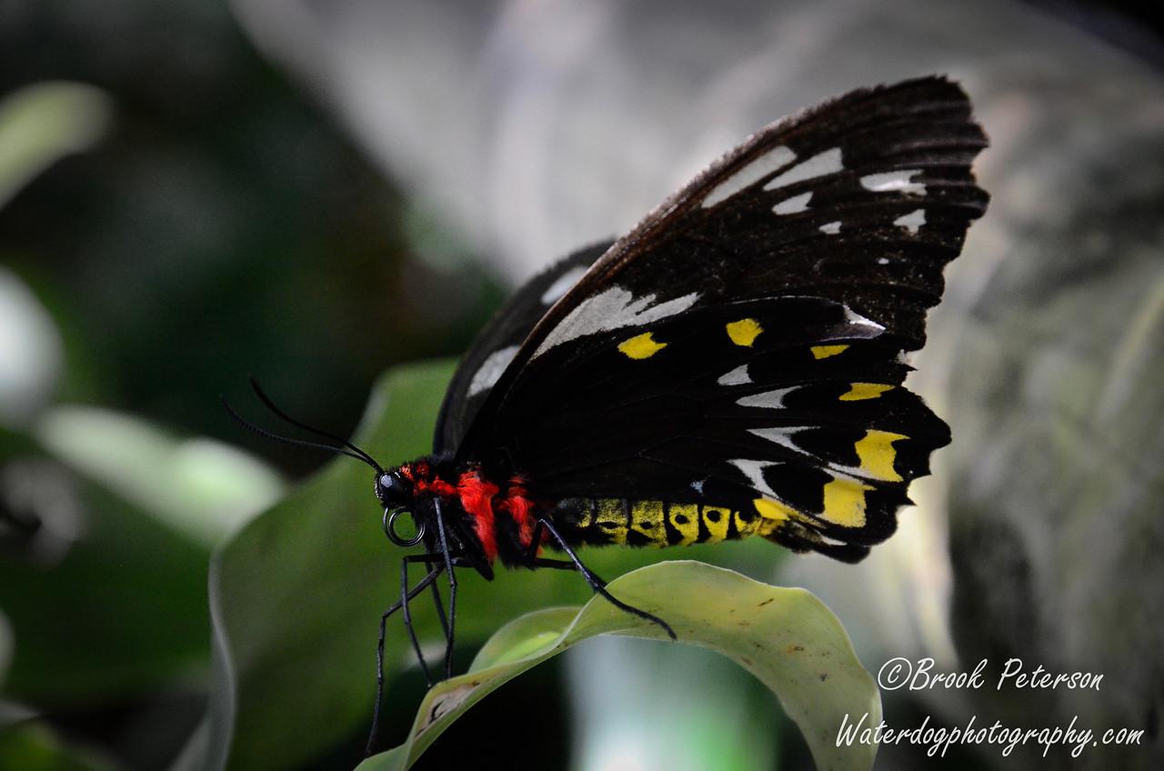 A female Cairns Birdwing butterfly