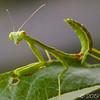 Juvenile Praying Mantis