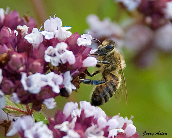 """<div class=""""jaDesc""""> <h4> Honey Bee on Oregano Blooms - July 17, 2009 </h4> <p> The oregano patch is right next to the hyssop in my herb garden, so I got some shots of the Honey Bees on the oregano blooms as well.</p> </div>"""