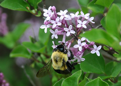 "<div class=""jaDesc""> <h4> Bumblebee on Miniature Lilac Blooms - May 30, 2016 </h4> <p> This Bumblebee was very cooperative as it collected pollen from our miniature lilac bush.</p> </div>"