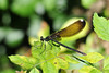 "<div class=""jaDesc""> <h4> Female River Jewelwing Dragonfly - June 21, 2010 </h4> <p>  </p> </div>"