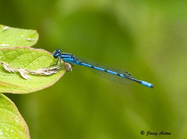 "<div class=""jaDesc""> <h4> Northern Bluet Damselfly Dragonfly on Leaf - June 3, 2009 </h4> <p>  </p> </div>"