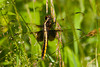 "<div class=""jaDesc""> <h4> Female Widow Skimmer - June 27, 2012 </h4> <p>  This female Widow Skimmer landed on a stalk of grass right in front of me as I was hiking through a field. She flew off and returned to the exact same spot several times.</p> </div>"