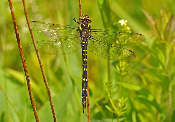 """<div class=""""jaDesc""""> <h4> Twin-spotted Spiketail Dragonfly - June 11, 2010 </h4> <p>  This Twin-spotted Spiketail dragonfly was flying around me in an open field.  He landed on a grass stalk and remained stationary for about 30 seconds.  Notice the twin yellow spots along the length of the body.</p> </div>"""