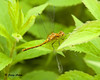 "<div class=""jaDesc""> <h4> Female White-faced Meadowhawk Dragonfly - July 3, 2009 </h4> <p>  </p> </div>"