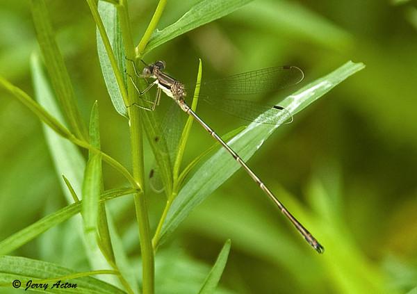 "<div class=""jaDesc""> <h4> Fragile Forktail Dragonfly - July 3, 2009 </h4> <p>  </p> </div>"