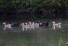 Farm Pond Ducks IMG_9519