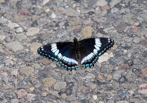 """<div class=""""jaDesc""""> <h4> White Admiral Butterfly Getting Minerals - June 19, 2010</h4> <p> This White Admiral landed on a gravel road to warm himself in the morning sun and get some minerals from the rocks.</p> </div>"""