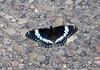 "<div class=""jaDesc""> <h4> White Admiral Butterfly Getting Minerals - June 19, 2010</h4> <p> This White Admiral landed on a gravel road to warm himself in the morning sun and get some minerals from the rocks.</p> </div>"