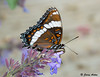 """<div class=""""jaDesc""""> <h4>White Admiral on Catmint - Side View - June 28, 2009</h4> <p> </p> </div>"""