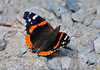 "<div class=""jaDesc""> <h4> Red Admiral Butterfly Getting Minerals - June 19, 2010 </h4> <p> This Red Admiral landed on a gravel road to warm himself in the morning sun and get some minerals from the rocks.</p> </div>"