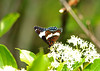 "<div class=""jaDesc""> <h4> White Admiral Nectaring - June 5, 2010</h4> <p> </p> </div>"