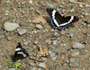 "<div class=""jaDesc""> <h4> White Admiral Pair Getting Minerals - July 3, 2009</h4> <p></p> </div>"