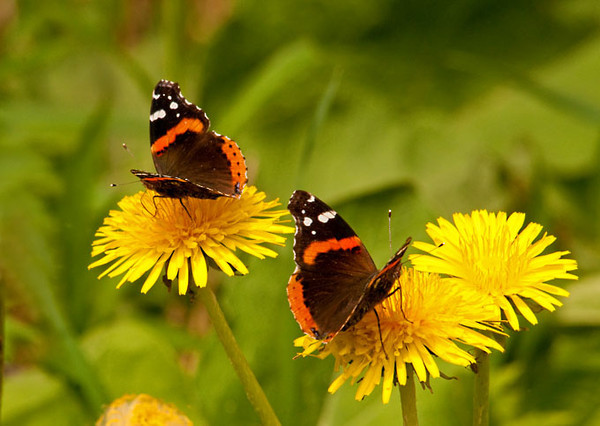 "<div class=""jaDesc""> <h4> Red Admirals Nectaring on Dandelions - May 4, 2012</h4> <p> I went for a hike with a group of butterfly enthusiasts on Saturday.  There were hundreds of these little Red Admirals along the roadside nectaring on dandelions.  A second Red Admiral came into the left side of the frame as I was getting ready to photograph the one on the right.</p> </div>"