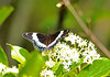 "<div class=""jaDesc""> <h4> White Admiral in Bright Sun - June 5, 2010</h4> <p> </p> </div>"