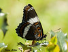 """<div class=""""jaDesc""""> <h4> White Admiral Butterfly - Side View - June 16, 2009</h4> <p> The White Admiral butterfly that was flying around our driveway landed on one of our holly bushes by the garage showing me his side view.</p> </div>"""