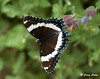 "<div class=""jaDesc""> <h4> White Admiral on Catmint - Top View - June 28, 2009</h4> <p> </p> </div>"
