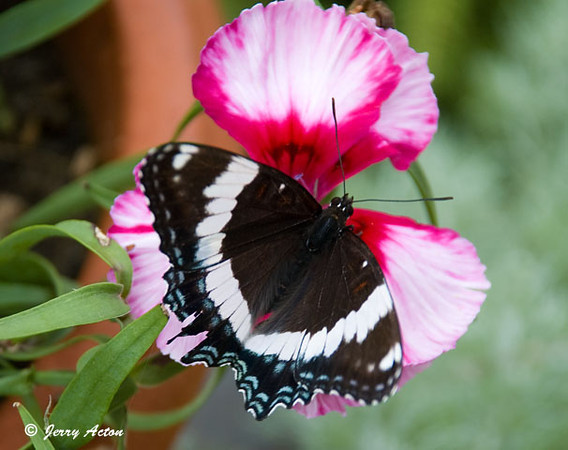 """<div class=""""jaDesc""""> <h4>White Admiral on Dianthus - Top View - June 28, 2009</h4> <p> </p> </div>"""