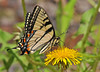 """<div class=""""jaDesc""""> <h4> Eastern Tiger Swallowtail on Dandelion - Side View </h4> <p> One dandelion can entertain this Eastern Tiger Swallowtail for at least 5 minutes before he moves on to the next flower.  I find it interesting that the pretty colors show up mostly on the underwing.</p> </div>"""