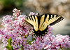 """<div class=""""jaDesc""""> <h4> Tiger Swallowtail on Dwarf Lilac </h4> <p> Our dwarf lilac is a favorite flowering shrub of the swallowtail butterflies.  They make such a colorful combination.</p> </div>"""