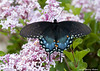 """<div class=""""jaDesc""""> <h4> Spicebush Swallowtail on Dwarf Lilac</h4> <p> This Spicebush Swallowtail was following the Tiger Swallowtail around the yard.   She liked the dwarf lilac also.  They make quite a colorful pair.</p> </div>"""