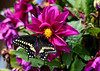 "<div class=""jaDesc""> <h4>Black Swallowtail Getting Nectar  - July 23, 2016</h4> <p> </p> </div>"