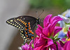 "<div class=""jaDesc""> <h4>Black Swallowtail Under-wing  - July 23, 2016</h4> <p>It is interesting how different the underside of their wings are compared to the top of the wings.</p> </div>"