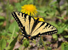 """<div class=""""jaDesc""""> <h4> Eastern Tiger Swallowtail - A Bit Weathered </h4> <p> This Eastern Tiger Swallowtail has been beaten around a bit.  He is missing his right lower tail, but it doesn't stop him from getting around quickly.</p> </div>"""