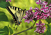 """<div class=""""jaDesc""""> <h4> Tiger Swallowtail on Lilac Blooms - Side View </h4> <p> This Tiger Swallowtail spent about 15 minutes nectaring on the lilac blooms.  It is quite amazing how tightly they can hold on in a brisk wind.</p> </div>"""