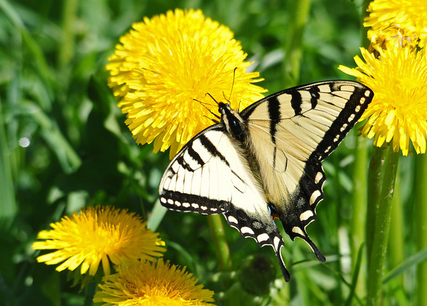 """<div class=""""jaDesc""""> <h4> Tiger Swallowtail Nectaring - May 25, 2014</h4> <p> The only butterflies I saw today were Tiger Swallowtails.  This one was nectaring on very fresh dandelions beside the trail path.</p> </div>"""