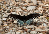 "<div class=""jaDesc""> <h4> Spicebush Swallowtail on Road</h4> <p> On my way home from Shindagin State Forest the other morning, I saw several lovely blue/black butterflies floating along the road in front of me.  When one landed on the road, I got out of my truck to get a quick photo. It was a Spicebush Swallowtail - a 1st for the year 2012.</p> </div>"