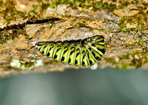"""<div class=""""jaDesc""""> <h4>Black Swallowtail Caterpillar on Bottom of Log  - September 7, 2014</h4> <p> </p> </div>"""