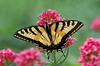 """<div class=""""jaDesc""""> <h4> Tiger Swallowtail on Phlox Blooms </h4> <p> This Eastern Tiger Swallowtail was nectaring on a phlox plant in my backyard.  They can spend up to 10 minutes on a single flower head.</p> </div>"""